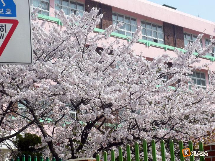 韓国の桜3