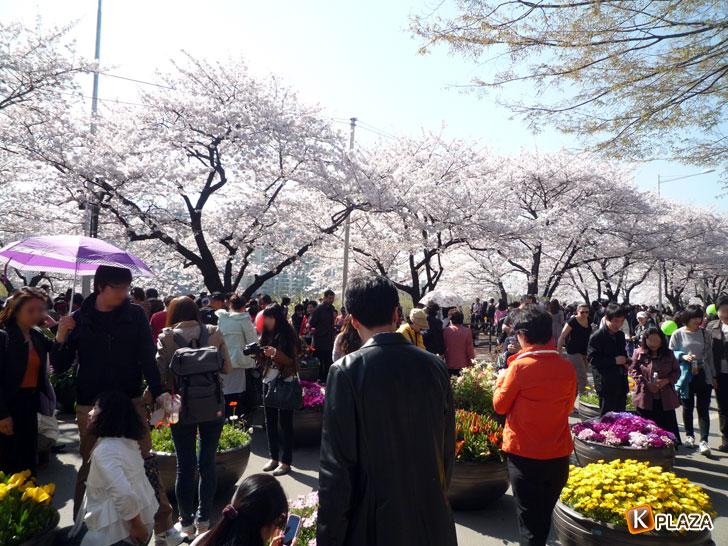 汝矣島-春の花祭り8