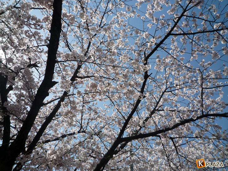 汝矣島-春の花祭り7