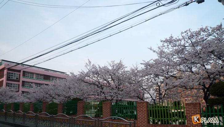 韓国の桜4