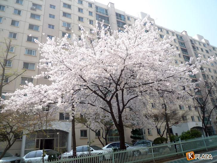 韓国の桜2