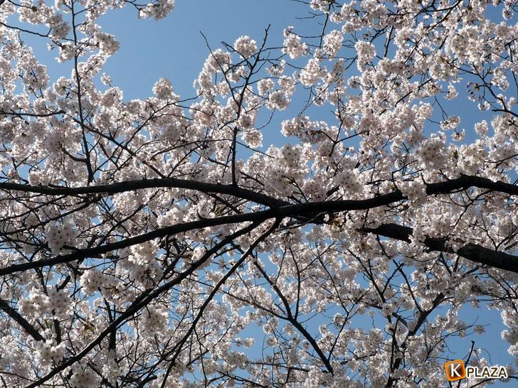 汝矣島-春の花祭り