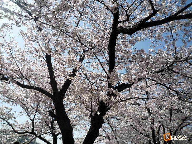 汝矣島-春の花祭り6
