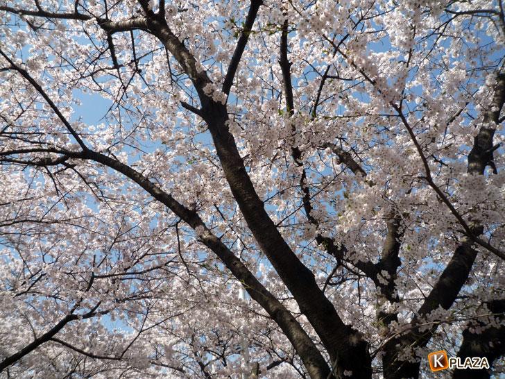 汝矣島-春の花祭り4