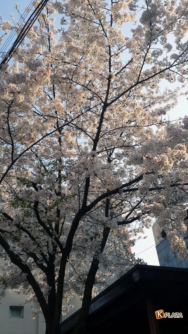 韓国の桜5