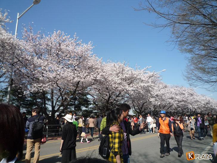 汝矣島-春の花祭2